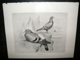 Frohawk 1898 Antique Bird Print. Rock Dove